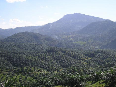 Malaysia Produces Over 40% of the World's Palm Oil Mostly On Plantations Like This One
